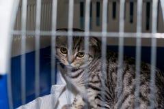 Szkocki fałdu kota traken w klatce przy weterynaryjną kliniką po operacji, odzyskuje od anestezji Anestezja wewnątrz obraz royalty free