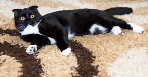 Szkocki fałdu kota lying on the beach na dywanie Zdjęcia Royalty Free