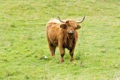 Szkocki góral na trawie obraz stock