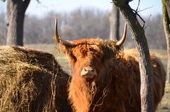Szkocki Górski bydło gapi się naprzód z siana drzewem i kopem w paśniku Obraz Royalty Free