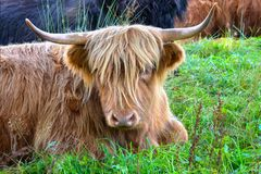 Szkocki górski bydło na zielonej łące Zdjęcie Royalty Free