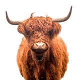 Szkocki górski bydło odizolowywający fotografia royalty free