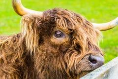 Szkocki górski krowa portret obraz stock