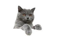 Szkocki kot z żółtymi oczami na białym tle siedzi behind Zdjęcie Royalty Free