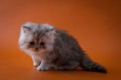 Szkocki Prosty długie włosy figlarki obsiadanie na pomarańczowym tle Zdjęcia Royalty Free