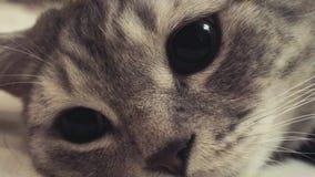 Szkocki prosty kot na łóżku Dostawać sen z bliska zbiory