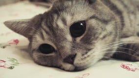 Szkocki prosty kot na łóżku Dostawać sen z bliska zbiory wideo
