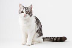 Szkocki Prosty kot zostaje cztery nogi Obraz Stock