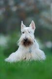 Szkocki terier, biel, wheaten śliczny pies na zielonej trawy gazonie, biały kwiat w tle, Szkocja, Zjednoczone Królestwo Obraz Royalty Free