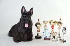 Szkocki terier z medalami i filiżankami zdjęcia stock