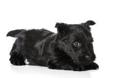 Szkocki Terrier szczeniak Obrazy Stock