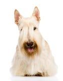 Szkocki Terrier w przodzie pojedynczy białe tło Fotografia Royalty Free
