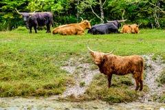 Szkockie średniogórze krowy Obrazy Royalty Free