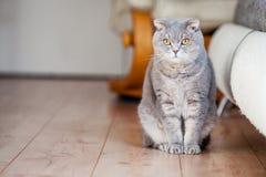 Szkockiego fałdu trakenu domowy kot siedzi na drewnianej podłodze blisko porysowanej rzemiennej kanapy obraz royalty free