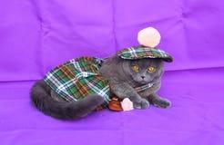 Szkockiego fałdu kota Szkocka suknia Obraz Royalty Free