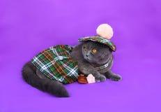 Szkockiego fałdu kota Szkocka suknia Zdjęcie Royalty Free