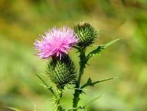 Szkockiego osetu purpur kwiatu kwiatu wyróżniający wierzchołek obrazy stock