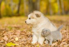 Szkockiej figlarki i alaskiego malamute szczeniak patrzeje daleko od w jesień parku Obrazy Royalty Free