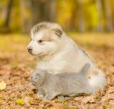 Szkockiej figlarki i alaskiego malamute szczeniak patrzeje daleko od w jesień parku Zdjęcia Stock