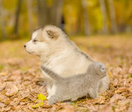 Szkockiej figlarki i alaskiego malamute szczeniak patrzeje w różnych kierunkach w jesień parku Obrazy Stock