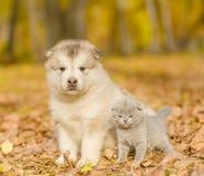 Szkockiej figlarki i alaskiego malamute szczeniak stoi wpólnie w jesień parku Fotografia Royalty Free