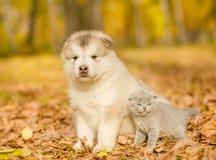 Szkockiej figlarki i alaskiego malamute szczeniak stoi wpólnie w jesień parku Obraz Royalty Free