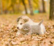 Szkockiej figlarki i alaskiego malamute szczeniak w jesień parku Obraz Royalty Free