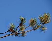 Szkockiej sosny gałąź przeciw niebieskiemu niebu Zdjęcie Stock
