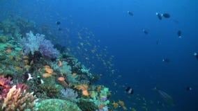 Szkolny kierdel kolorowa ryba w dennej polewce na rafie zdjęcie wideo