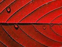 szkotowy czerwieni drzewo Fotografia Stock