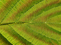 szkotowy drzewo Zdjęcie Royalty Free