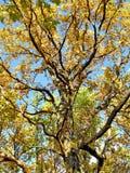 szkotowy kolor żółty Zdjęcia Royalty Free