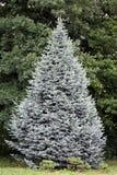 Szlachetna jodła lub christmastree Obrazy Royalty Free