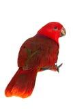 Szlachetna papuga na bielu zdjęcie stock
