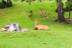 Szlachetni Deers Zdjęcie Stock