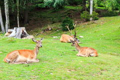 Szlachetni Deers Fotografia Stock