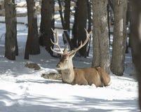 Szlachetni rogacze w zima lesie fotografia royalty free