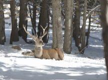 Szlachetni rogacze w zima lesie zdjęcie royalty free