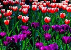 Szlachetni tulipany Zdjęcie Stock