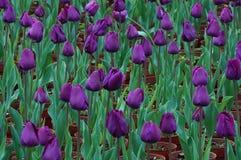 Szlachetni tulipany Ah Obraz Royalty Free