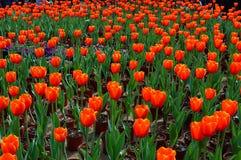 Szlachetni tulipany Dow Jones Zdjęcia Royalty Free