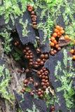 Szlamowa lejnia lub foremka, Trichia decipiens Zdjęcie Stock