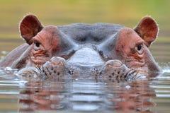 Szmaragd Dostrzegający nurkującym (Turtur chalcospilos) Obraz Stock