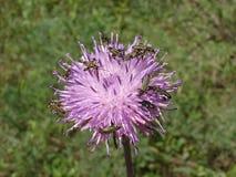 Szmaragdowozielone bąbel ścigi na knapweed purpurze kwitną Zdjęcia Royalty Free