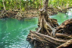Szmaragdowy basen jest niewidzianym basenem w namorzynowym lesie przy Krabi w Tajlandia, woda przepływ, długie ujawnienie technik Zdjęcie Stock