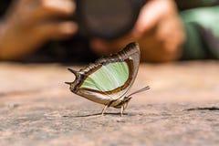 Szmaragdowy Nawab lub Indiański Żółty Nawab motyl Fotografia Royalty Free