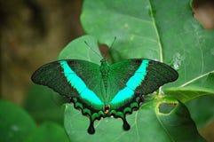 Szmaragdowy swallowtail Zdjęcia Royalty Free