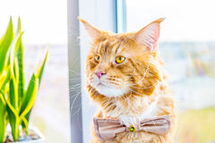 Szokujący kot jest ubranym Motyliego krawat i czeka Jego panny młodej, Ślubny pojęcie Fotografia Stock
