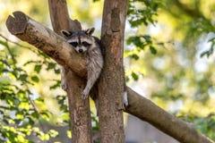 Szop pracz śpi w drzewie fotografia stock