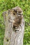 Szop pracz Bawić się na Drzewnym fiszorku obrazy stock